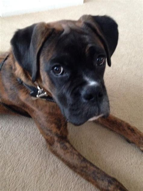 brindle boxer brindle boxer ten months brighton east sussex pets4homes