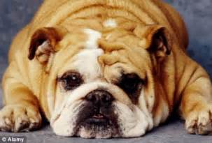 pug documentary leading vet calls for pugs and bulldogs ban because the pedigree dogs often struggle