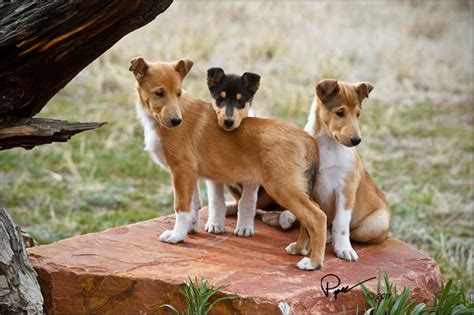 smooth collie puppies digital photography courses at betterphoto
