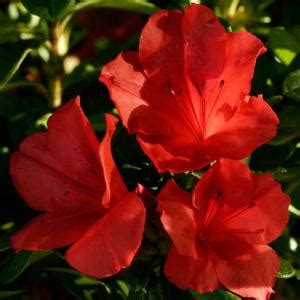 encore azalea 3 gal autumn sunset 80613 the home depot