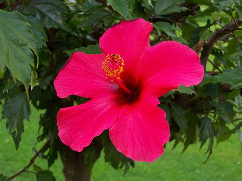 Bunga Sepatu Bangkok Merah kembang sepatu bahasa indonesia ensiklopedia bebas