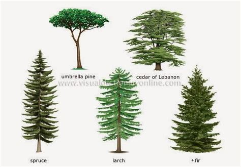 types of trees the english cubby types of plants