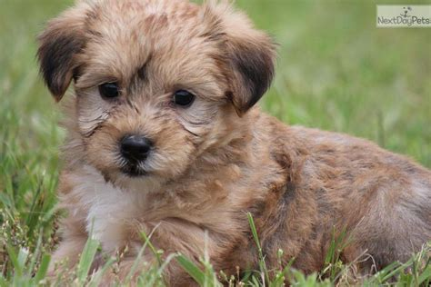 how big do yorkie poo dogs get how big do yorkie dogs get search results dunia pictures