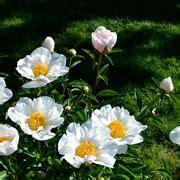 significato dei fiori peonia peonia significato peonia significato dei fiori la peonia