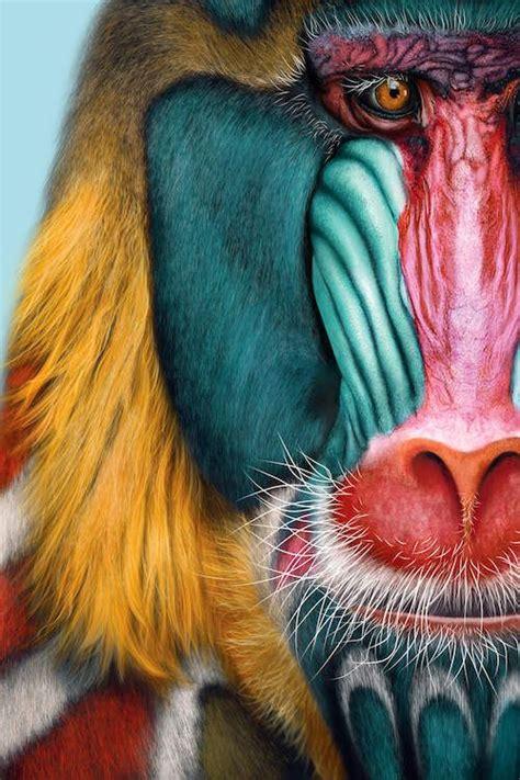 mandrill canvas artwork  giulio rossi animals beautiful baboon animals