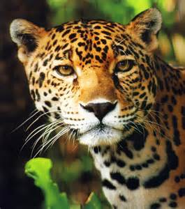 Jaguar Panthera