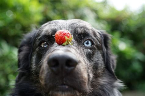 dogs eat strawberries can dogs eat strawberries blueberries or other berries healthy paws