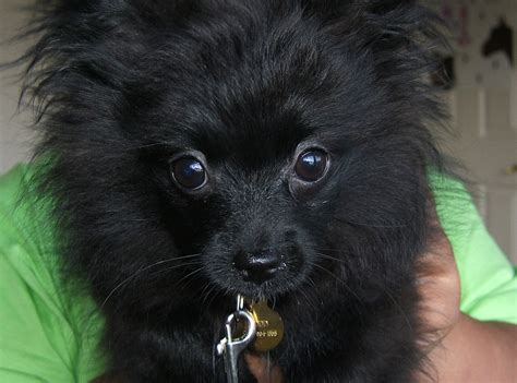 small black black puppies www imgkid the image kid has it