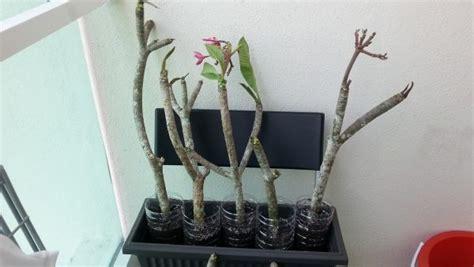 Tanaman Setek Batang Pepaya Jepang Setek panduan cara menyetek aneka macam tanaman hias bunga