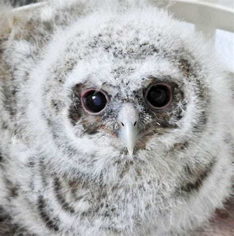 Setelan Baby Pay Owl rescued baby owls adopted something to be their surrogate mirror