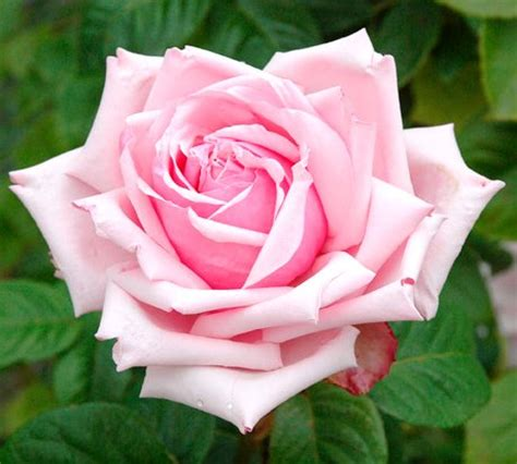 Types Of Garden Roses - flowerpedia intoxicating fragranced roses la france