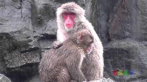 japanese macaque youtube