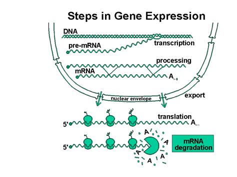 genetics of hair color gene expression genetic engineering and the regulation of gene expression
