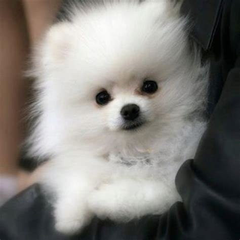i want to buy a pomeranian puppy 1000 images about pomeranian puppies on