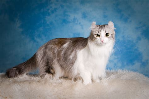 Munchkin Cat : History, Characteristics and Temperament