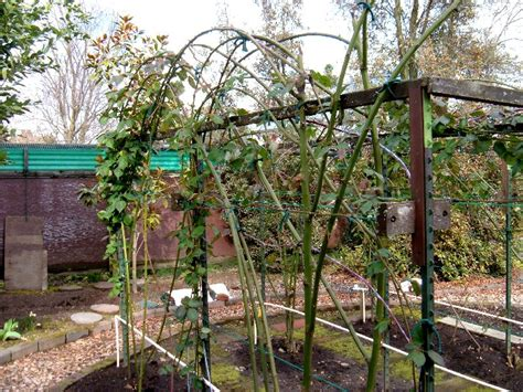 Berry Trellis blackberry lateral branches