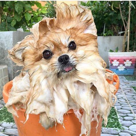 pomeranian breeders ma 227 best pomeranian dogs images on pomeranian dogs dogs and pom poms