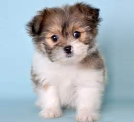pomeranian puppies yokies shih tzu learn more about the pomeranian shih tzu mix soft and fluffy