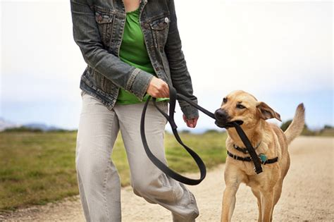 puppy biting leash i ve created a thedogtrainingsecret