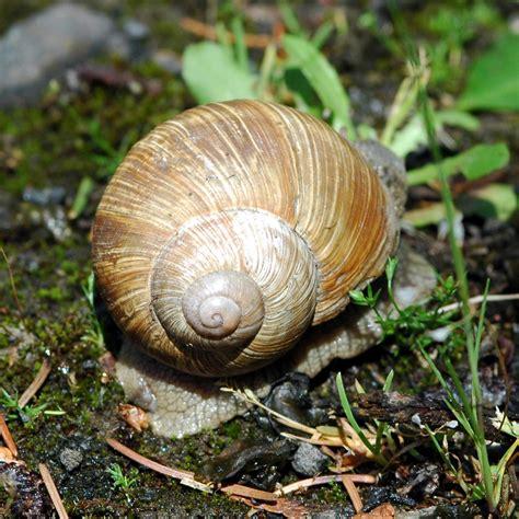 un caracol a snail 8426350941 l escargot de bourgogne helix pomatia