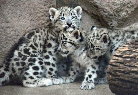 reset nvram snow leopard bloomington zoo welcomes snow leopards local herald