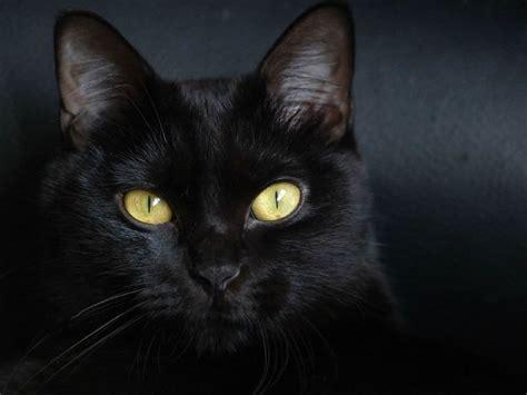 wallpaper chat black gatos bombay gatosmania com