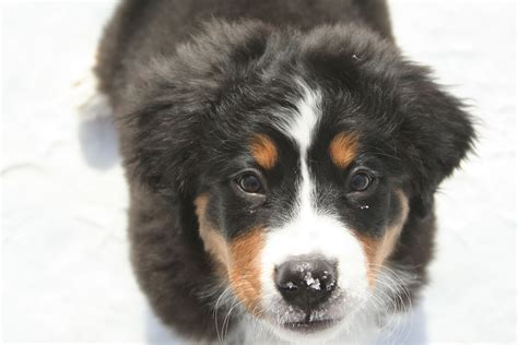 bernese mountain cost bernese mountain information breeds at dogthelove