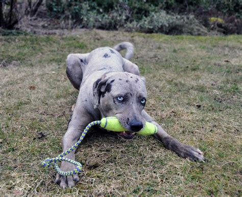 catahoula leopard puppy louisiana catahoula leopard info temperament puppies pictures
