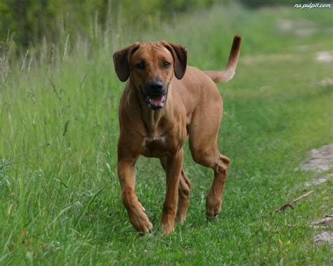 Rhodesian Ridgeback   Pictures, posters, news and videos