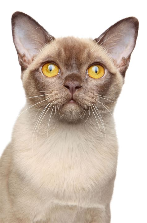 cat breed burmese cat breed information