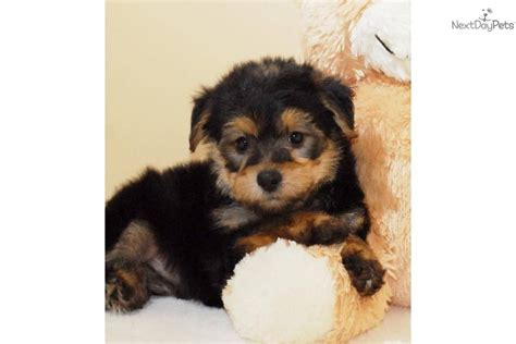 raising yorkie puppies yorkie puppies on the challenge of raising yorkie poo puppies breeds picture
