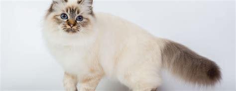 razze di gatti da appartamento le 4 migliori razze di gatti da appartamento gatti