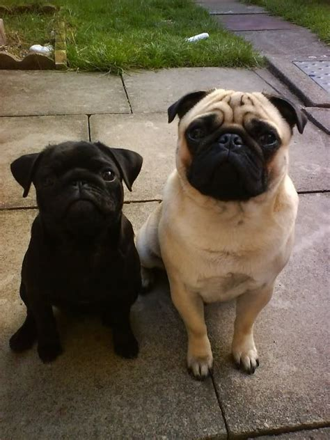 black pugs vs fawn pugs 1000 images about for the of pugs on running and