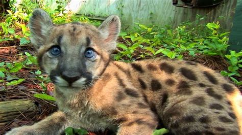 Great News For Big Cats! Critically Endangered Panther ...
