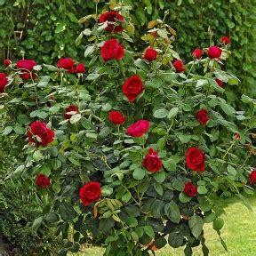 Roselline In Vaso by Coltivare Le In Vaso Balconi Terrazze