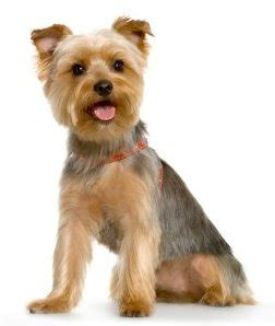yorkie breeders toronto breed of the week terrier paws playgrounds