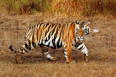 google images tiger different types of tigers fernando s tigers