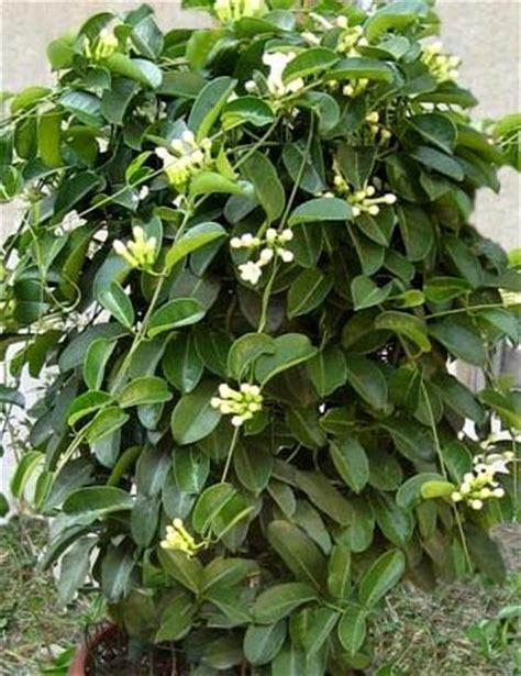 cura gelsomino in vaso stephanotis apocynaceae coltivazione e cura della