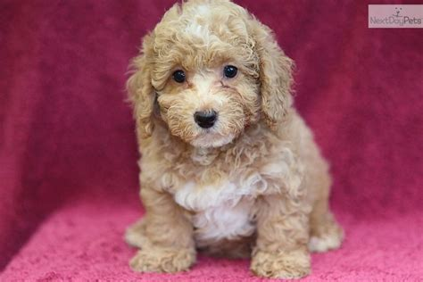 miniature poodle puppies for sale pin miniature poodle puppies are for sale in the new zealand of on