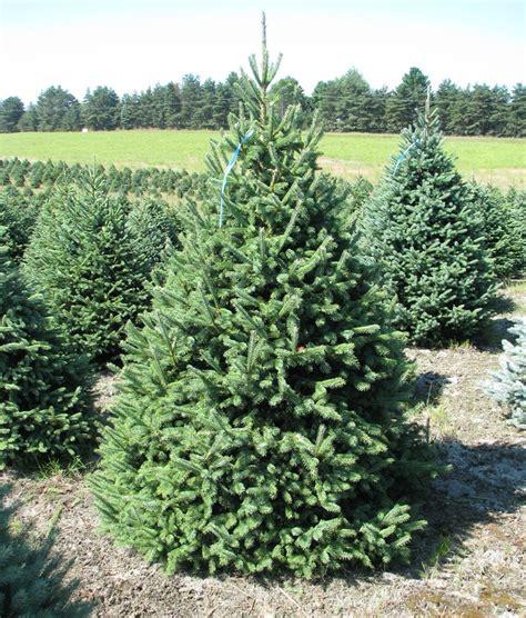 wholesale christmas tree photos holiday trees inc