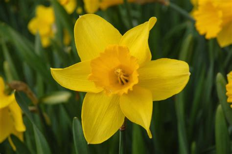 st flowers st david s day 2016 how to say it in and why we
