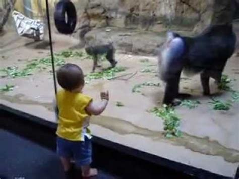 baboon mandrill  toddler youtube