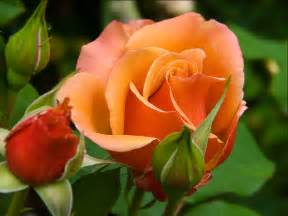 flowers by color roses images beautiful color hd wallpaper and background