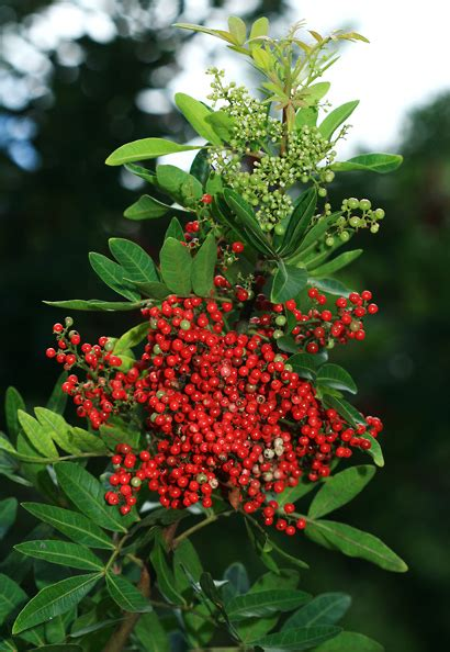 schinus terebinthifolius brazilian peppertree christmas