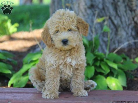 mini doodle breeders in pa 39 best images about mini goldendoodles on