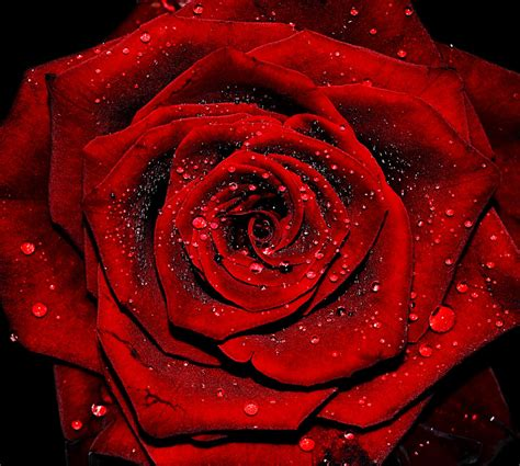scarlet carson victorian red rose by shizuka no hime on