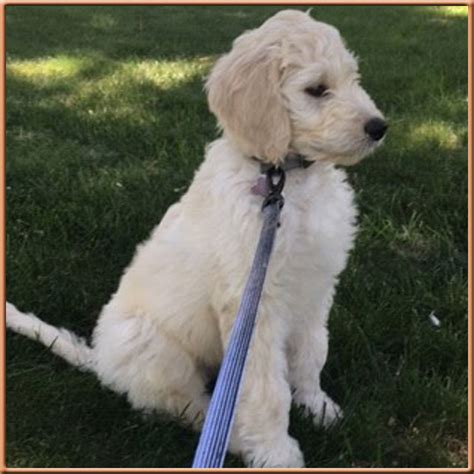 mini goldendoodles nc mini goldendoodle white 56981 zsource