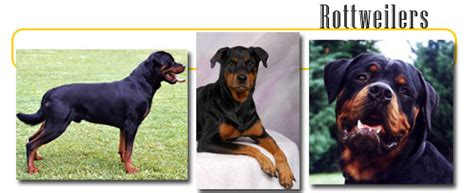 rottweiler with white patch on chest rottweilers info and