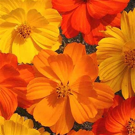 Benih Bunga Cosmos Bright Lights Mix Orange And Yellow Flower 1 cosmos seeds 42 top cosmos annual flower seeds