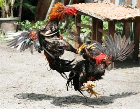 Jual Jenis Ayam Aduan jenis jenis pakan untuk ayam aduan jitunews